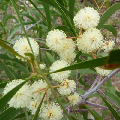 Acacia implexa - hickory wattle