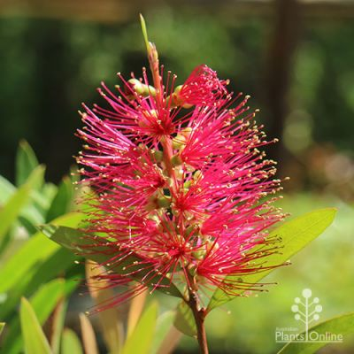 Callistemon Candy Burst™ deep pink colour