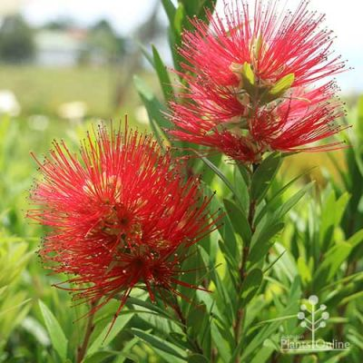 Macarthur bottlebrush flower