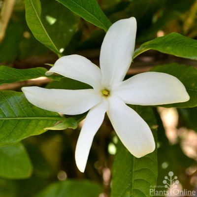 Randia fitzalanii - native gardenia flower