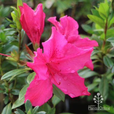 Azalea Pride of Dorking