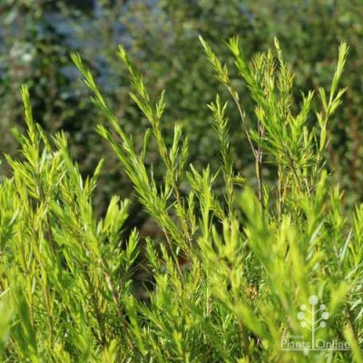 Melaleuca Revolution Green foliage