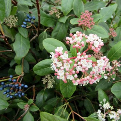 Viburnum tinus berries and flowers