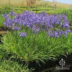 great value agapanthus
