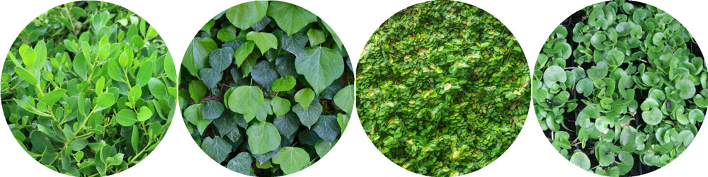 St Patrick's Day Groundcover Plants