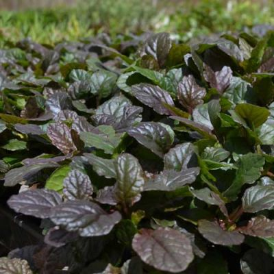 purple ajuga leaf