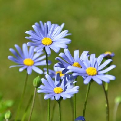Felica blue daisy bush