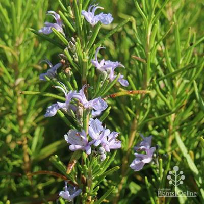 Blue Lagoon rosemary flowers