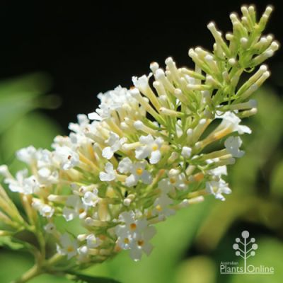 Buddleia White Bouquet