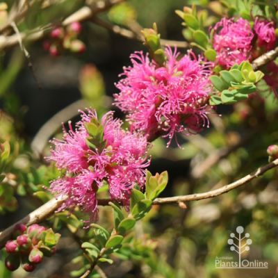 Melaleuca Cotton Candy flowers