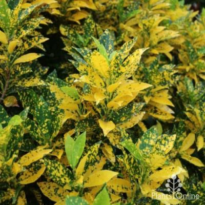 Croton Speckled
