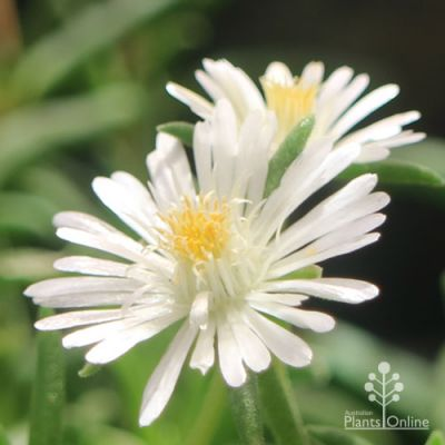 Moonstone white ice plant