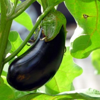 Eggplant Black Beauty - seed