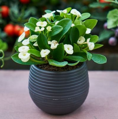 Euphorbia milii cream - crown of thorns succulent