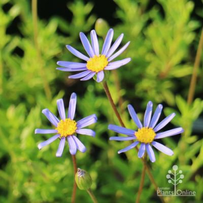 variegated felicia blue daisy bush