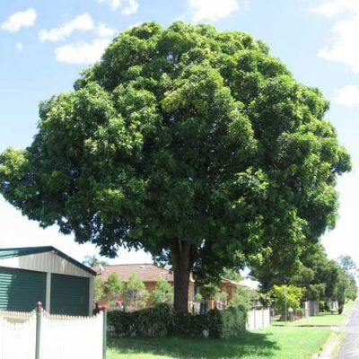 Flindersia australis - crows ash