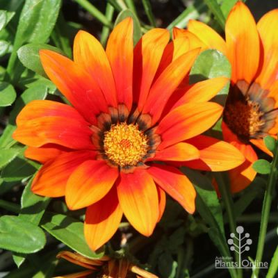 Gazania New Day Bronze flowers