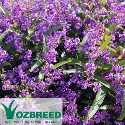 Hardenbergia Meema flower colour