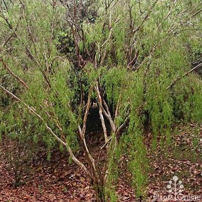 Leptospermum madidum - weeping tea-tree