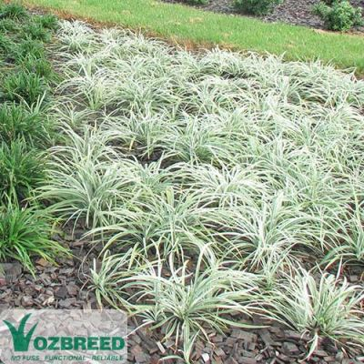 Liriope Silverlawn ground cover