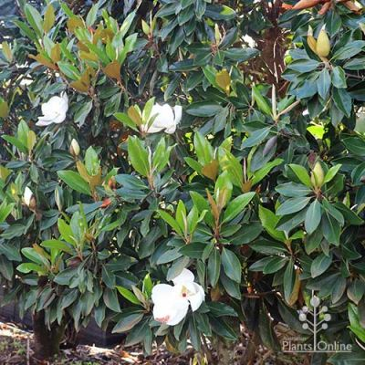 Magnolia Little Gem nursery hedge