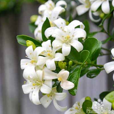 Murraya paniculata (mock orange) in flower
