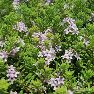 Myoporum pink coarse leaf native groundcover