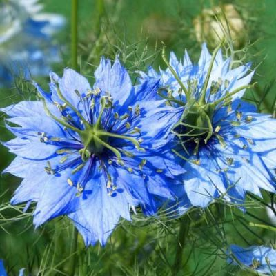 Nigella Miss Jekyll - love in a mist - seed