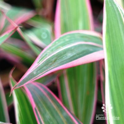 Cordyline Pink Diamond leaf