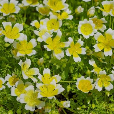 poached egg plant seed