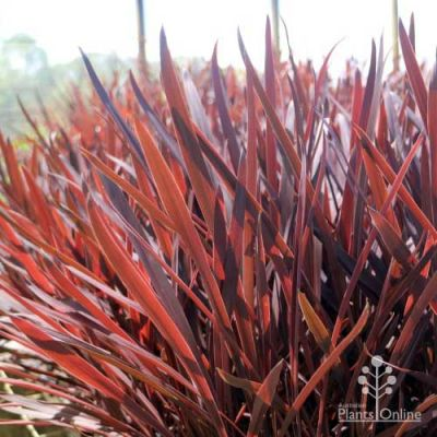 Cordyline Red Sensation young plants