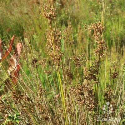 Juncus usitatus - common rush seedheads