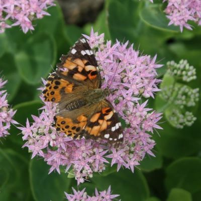 butterflies love sedum plants