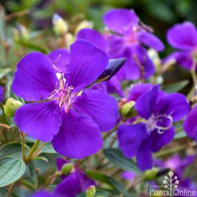 Tibouchina Little Beauty flower
