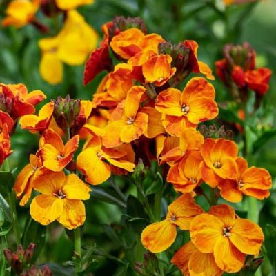 orange wallflower fire king seed