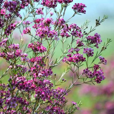 Purple Pride waxflower