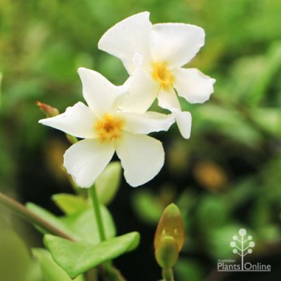 Trachelospermum Yellow Star
